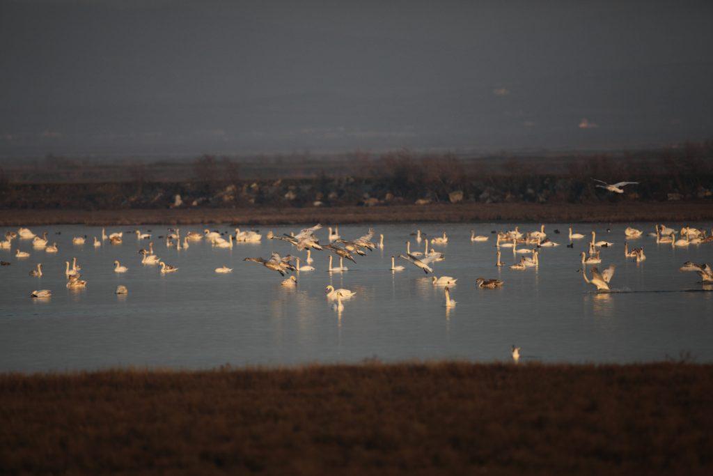 Cygnes tuberculés et de Bewick sur la lagune de Paloukia, 06/02/2011 (photo Didier Vangeluwe)