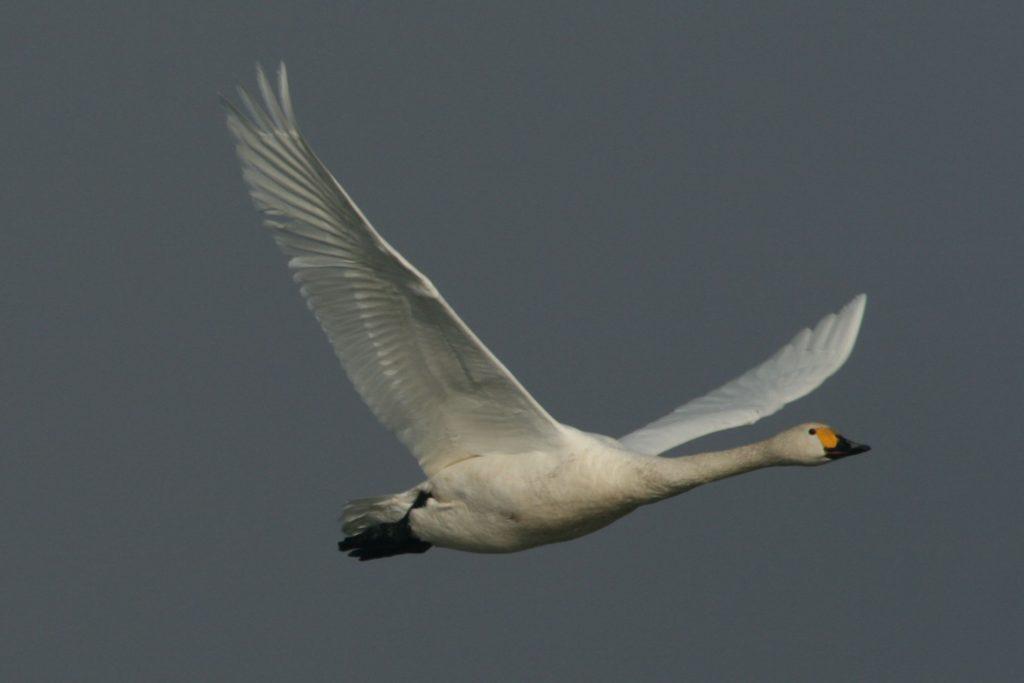 In flight (photo Didier Vangeluwe)