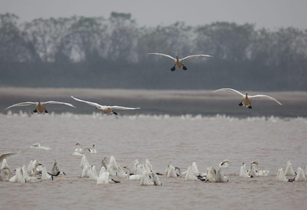 Bewick's Swan on Poyang Lake, 28/11/2014 (photo Didier Vangeluwe).