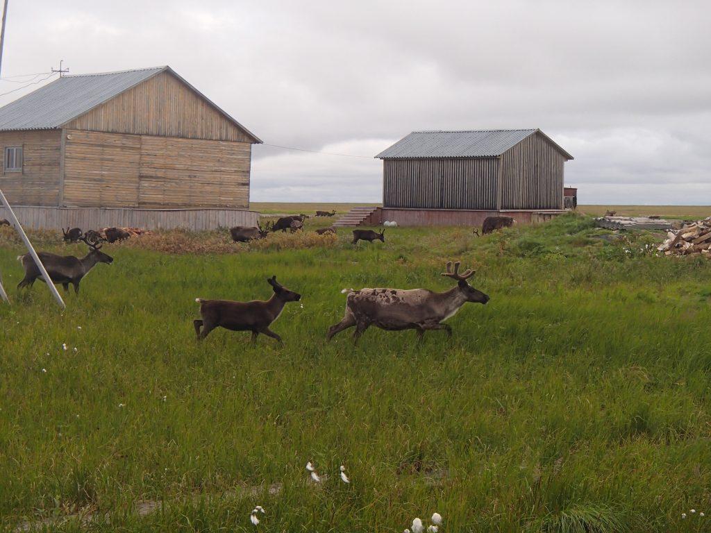 Reindeer crossing the base camp