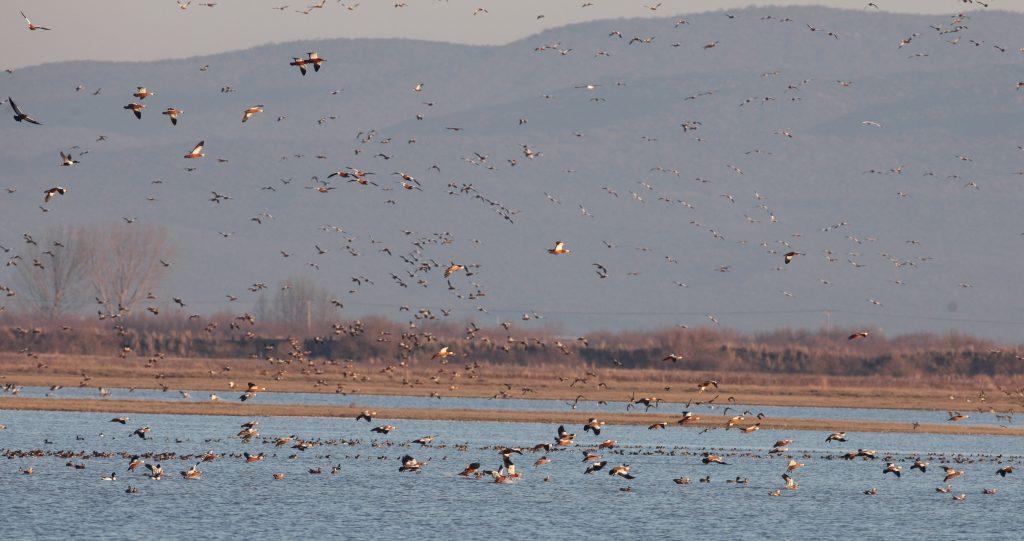 Some of the 4500 Ruddy Shelducks coming to sroost nearby Drana Lagoonn, 02/02/2016 (foto Didier Vangeluwe).