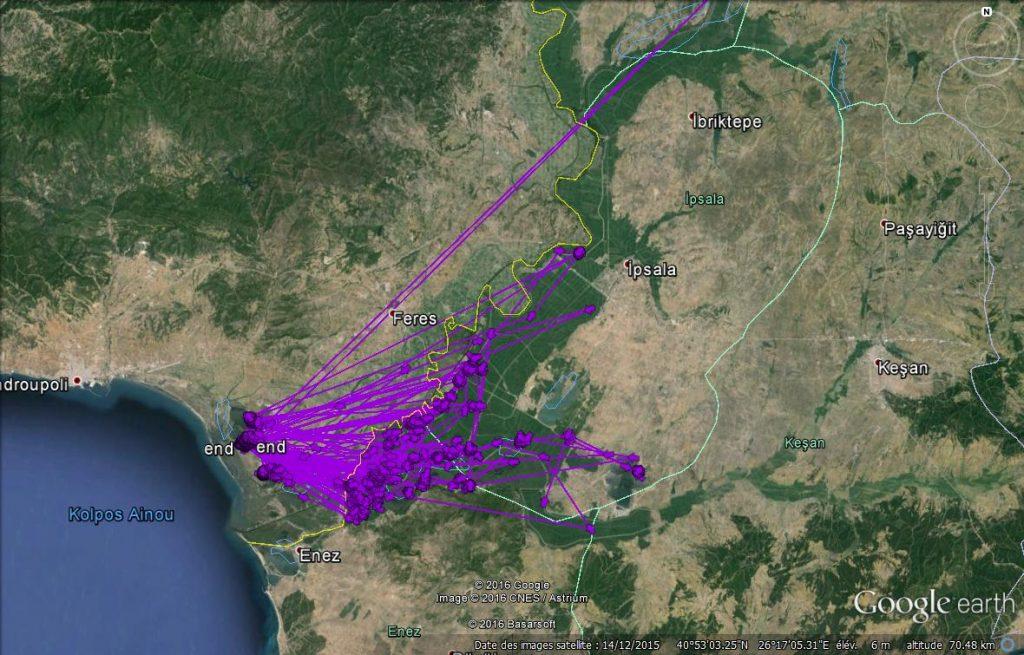 Zone d'hivernage du Cygne de Bewick 854X dans le Delta de l'Evros, à la frontière entre la Grèce et la Turquie.