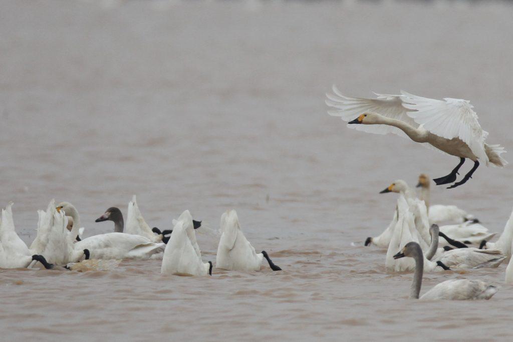 Cygnes de Bewick hivernat dans la région du Lac Poyang, 29/11/2014 (photo Didier Vangeluwe)
